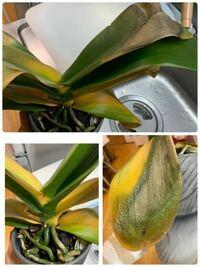 写真の胡蝶蘭は病気でしょうか? 何か助ける方法があれば教えて下さい。  日に日に黄色が広がっているように思います。 残っている緑色も黄色くなってしまうのではと、 心配しています。  よろしくお願いします。