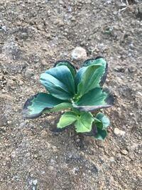 ソラマメの栽培について質問です。 ソラマメ の苗を10月下旬に植え付けしましたが、葉っぱの周辺が黒くなってきました。これは冷たい風に当たったからでしょうか。これからの時期は風除けなどが必要でしょうか。