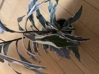 この観葉植物の名前がわかりません。ご存知の方の解答をお願いします。