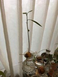 アボカドの種を水栽培で育てました。3ヶ月ぼど掛かりましたが、根が出て、芽が出て、ニョキニョキと発育して、そろそろ土に植え替えしなければならない高さにまでなってしまいました。写真添付します。 そこでネットて調べたら、赤玉土小粒6と腐葉土を3の割合で鉢に植え替えとありましたが、以前に母が購入していた「油粕骨粉」というものが有りました。そこで質問です。  ①この油粕はアボカド生育に効果があるか? ...