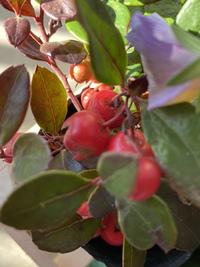 この赤い実の名前と育て方を教えて下さい。 貰ったもので、自分は植物を育てた事がありません。 宜しくお願いします。
