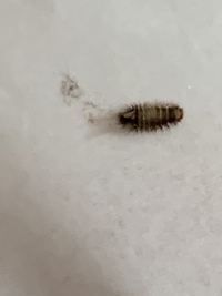 この虫はなんですか  家の部屋の隙間の壁と床の間にいました