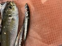 この小さい魚は何でしょうか。 岩手の釜石で釣りました。