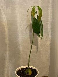 アボカドを栽培しています。 一度、3枚の葉が丸まってしまい もうダメかと思いながら育て続けてたら 新たに新芽が出てきました。 しかし、新芽も大きくなるにつれ 丸まるようになってしまいました。  水やりは、土に少し指を入れて 乾いてたらあげるという頻度です。  普段室内の日光が当たる所(カーテン越し)に 置いています。  どうしたら元気になってくれますか? ご回答お待ちしています。
