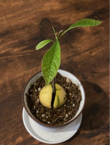 アボカドの葉の元気がありません。 ハリがなく、しわしわした感じです。 小さい葉先は茶色くなってきました。 茎はまだ育ちそうな様子です。 何か対策があれば教えて頂きたいです。