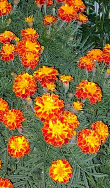 これはなんという名前のお花ですか?