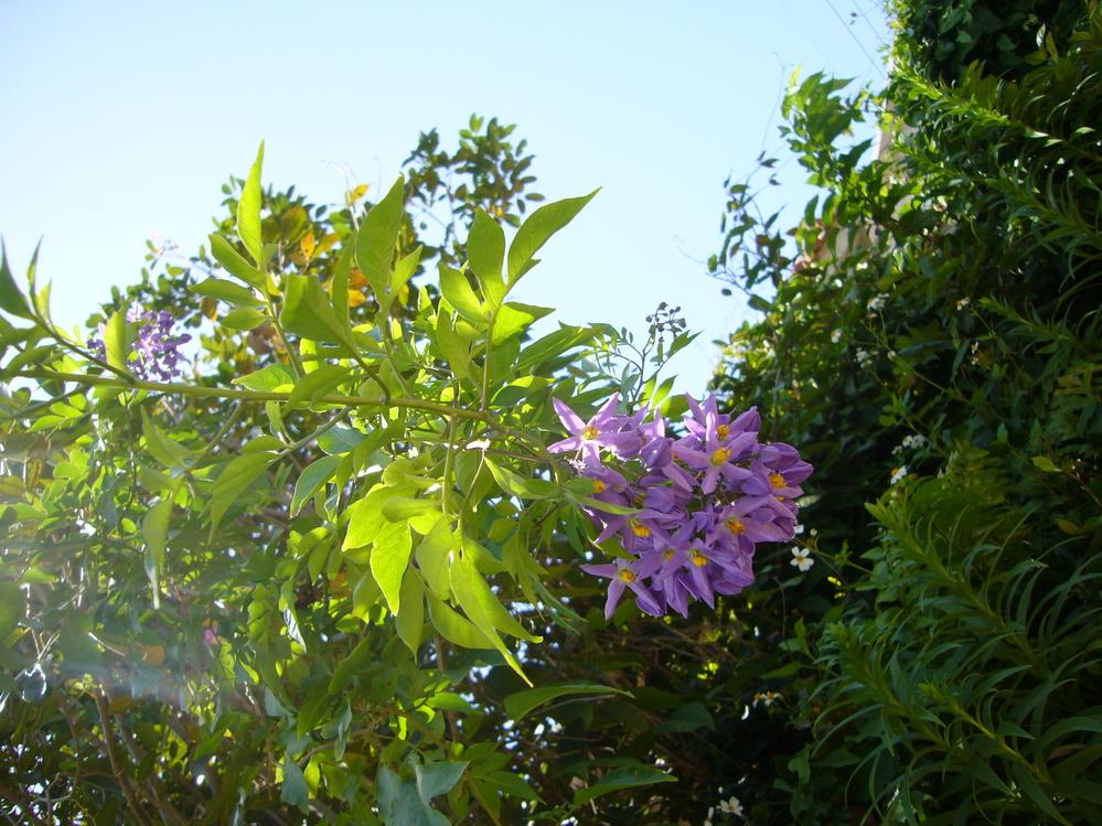 この写真の花は何でしょうか?教えて下さい。 2010年4月に家族で沖縄旅行したときに撮りました。 コウテイダリアに似ていますが違うようです。