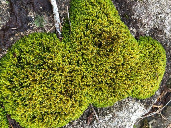 この苔は何苔でしょうか? 教えて頂ければ幸いです。