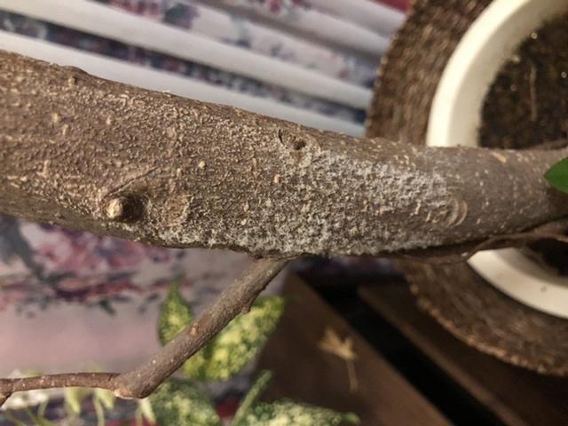 フィカス ジャンボリーフのお手入れについて 気づいたら観葉植物の幹にふわふわしたものが生えていました。 これはカビ?もしくは虫?でしょうか?? また、最近あまり元気がないのですが冬だから...