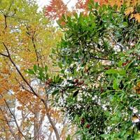 赤い実のなる木 教えていただいたのに忘れました。  木の名前を教えてください。