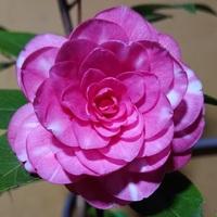 写真のツバキの品種名を、ご教示お願い致します。 花は、小さめでして、濃い桃色に白が入ります。 開花したのは11月中旬でしたが、 花が散る時に、花首から落ちるので、 サザンカではないと考えています。 よろし...