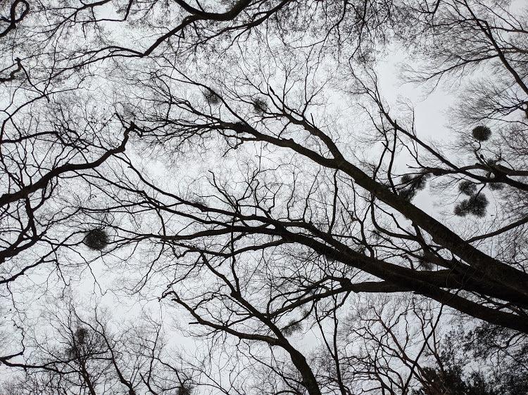 この木の枝にある丸いのは鳥の巣?ですか?にしてはありすぎる気がしています。 木の種類なんでしょうか、、 森の中でこの丸いのが何個もある木と、全くない気がありました。