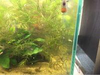 30センチ水槽のコリドラス稚魚水槽で、中のマツモが茶色くなっしますのですが、餌はブラインシュリンプを水洗いしてあげてます。なぜマツモが茶色になるのでしょうか?