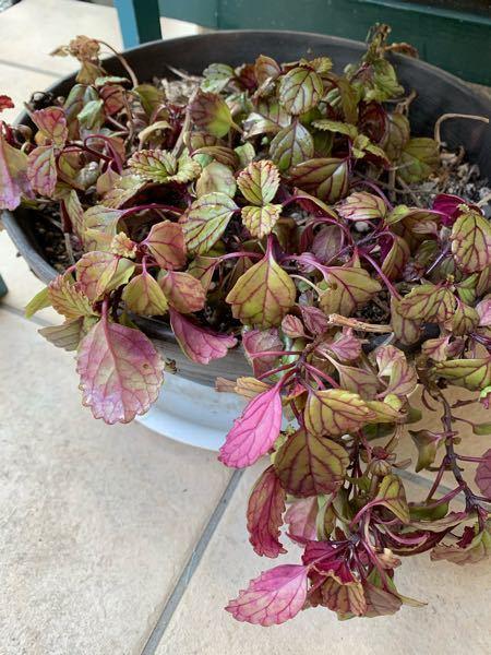 この鉢植え植物の名前を教えてください。 今は玄関先に置いてますが 越冬はどのようしたらいいでしょうか?