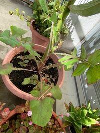 この植物の名前分かりますか? アボカドの植木鉢から生えて来ました。 アボカドと一緒に育てているのですが、名前が分かりません。 キク科の植物だとおもうのですが…  ノゲシ?タンポポ? 分かる方からお願いします。