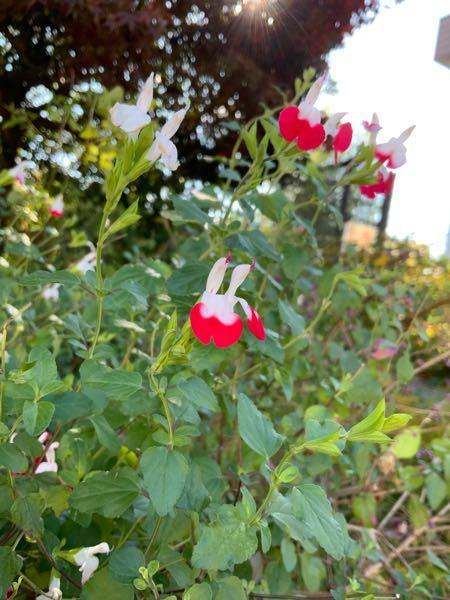 この花の名前分かる人いらっしゃいませんか???