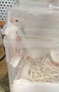 白文鳥の生後1ヶ月とちょっとですがもうゲージに移した方がいいんでしょうか? 今はプラスチックのケースの中で飼っています。 ですが飛んでここにつかまったりしてて、鳥用ゲージにもう引越しした方がいいですか?