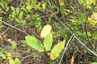 樹木の種類を教えてください 葉の画像を添付しましいたが、 背丈は5mぐらいの樹木です 日当たりのよい斜面に何本も生えています 昨日の画像です