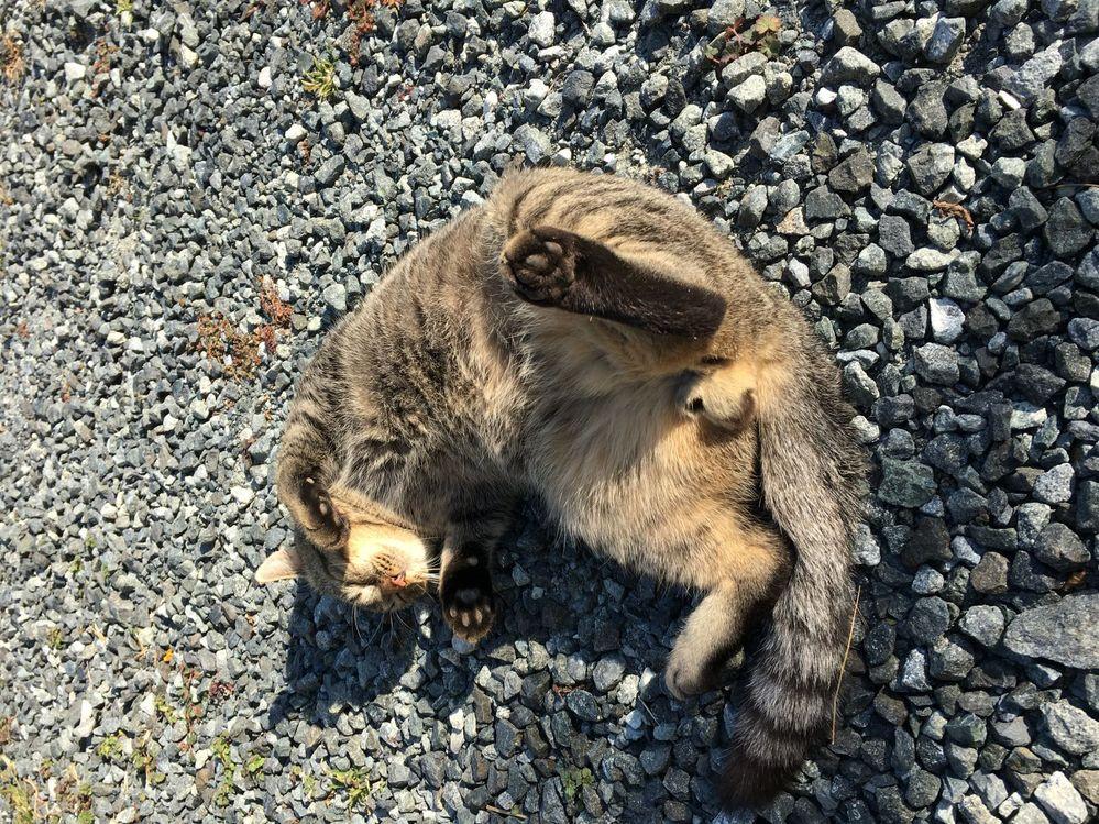 この猫の性別を、教えてください。最近、わが家に寄り付くようになったノラ猫です。 田舎のことで、周りは畑ばかりの地域です。餌をあげておりますが、もしメス猫なら、子供を産むと困るので、心配しております。 耳にVカットは、ありません。