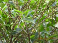 この木はヒサカキ?ハマヒサカキ?教えて下さい。