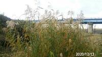 水辺の植物の名前を教えて下さい、 岐阜県美濃加茂市化石林公園で、 撮影20201213