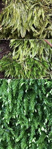 苔の名前を教えてください。 山の公園へ行きました。 見た事の無い苔を見ました。 名前をご存じに方がいらしたお願いします。 4種でした(3種目)