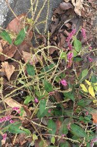 このピンクの蕾がついてる植物の名前をおしえてください。 先月撮った写真です。住宅街の道端に生えてました。