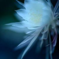 【大喜利 No-?】 (お題)  「作戦は一刻を争う…」   どんな作戦か教えて下さい。      ※)蛇足ですが、画像の花は月下美人です。