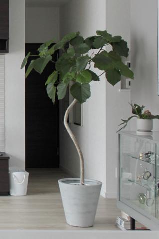 この観葉植物の名前をおしえてください! 詳しい方お願いします。