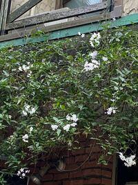 この時期に咲いてるつる植物、いいなぁと思って見てましたが名前がわかりません!どなたか教えてください^_^ お店の屋根部分に這わせてありました。