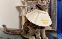 こうやってエリザベスカラーを反対に着けたら猫は 傷口なめれますか? 避妊去勢手術後です
