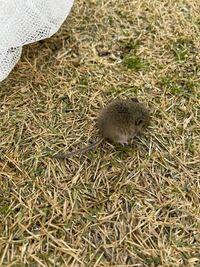 家の庭にネズミがいました。 2匹だけです。  これはなにネズミですか? 赤ちゃんっぽいのですが…  捕まえてありますがどうすれば良いでしょうか。