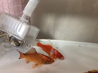金魚の種類を知りたいです!  今日、金魚釣りをしてもらった金魚です! 種類って和金になるのでしょうか?? あと、オスかメスかの見分け方など詳しい方いましたら教えて頂きたいです!  よろしくお願いしま...