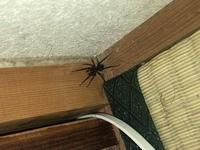 家の壁に張り付いていたのですが、アシダカグモでしょうか?イエタナグモでしょうか? また、他にも何匹かいる可能性はあるでしょうか?