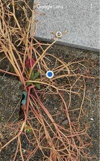 お墓参りに行った際、墓石の周りに生えていました。 初めて見たので気になってGoogleLensで撮ったのですが、枯れている?からなのか、同じような植物がヒットせず…  この植物の名前がわかる方いますか?  1箇所から茎が生えている感じで、柔らかくてすぐに抜けました。周りにまで広がっている感じはなかったですが、実家に帰省した際(1年に3回程)にしかお墓に行けないので、また生えてこないか心配です。