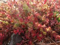 地面を這う植物。小さな赤い花?(1センチ未満)をつけています。 緑と赤のコントラストが綺麗で、名前を知りたいです。 今朝、鹿児島県の空き地で見ました。 よろしくお願いいたします。