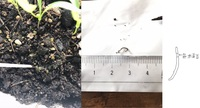 プランターの土に居た小さなミミズのような虫はいったい何なのでしょう? 色は無色透明で体長1㎝くらい。密集してることはないですがプランターの土の表面を掘り返すと何匹も見つかります 植えているのはパクチー...