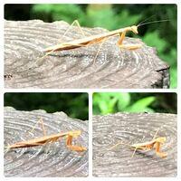 カマキリの種類 写真のカマキリの幼虫について 種類が分かる方、ご教示ください。  7月に福岡県で撮影したものです。