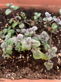 スペアミントを栽培しているのですが、かなり黒ずんだ色をしていてあまり美味しそうじゃないです。 どうすれば健康的な緑色の葉になりますか?