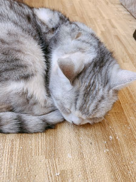この猫の色の種類って何でしょうか? スコティッシュフォールドです。 名称とかありましたら教えていただけませんか?