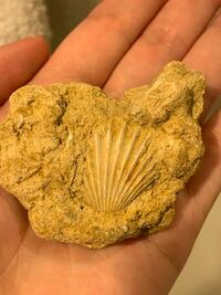 化石かどうか教えて欲しいです。 離島の、あまり人が立ち入らない場所で貝の化石らしきものを見つけました。   見つけた最初は貝の周りに土がついてるだけのものだと思ったのですが、旦那を驚かせようと「化石見...