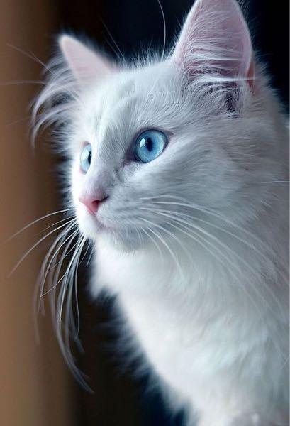 この猫を擬人化するとしたら 白髪で、若干 猫っ毛なのは確定事項で どんな髪型を想像しますか? 確実にイケメンですよね… 何個か描いてみたものの シックリくるものがなかなか閃かず_(:3」)_