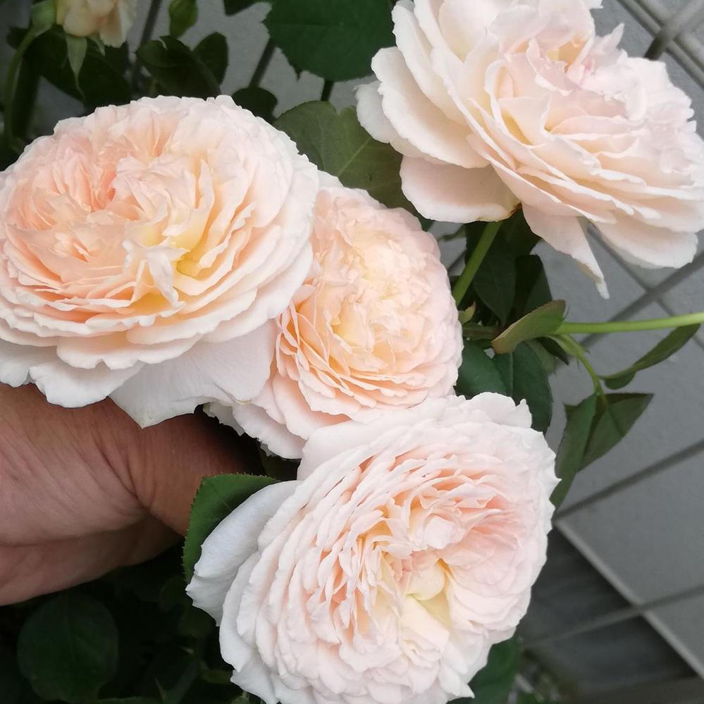 鉢植えのバラの植替えをそろそろやろうと思いますが、軒下で管理しているカポックの植替えを同時期にするのはダメですか? 地域は東京です。