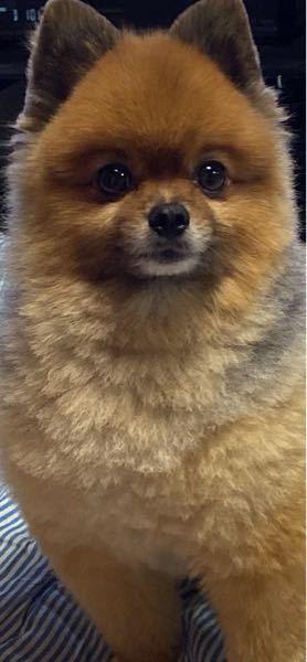 うちの犬って、くまの赤ちゃんみたいですか?