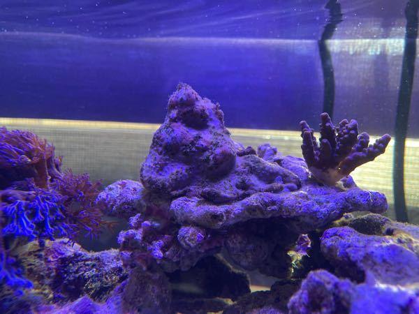 サンゴについて スターポリプが最近おかしいです。 苔がはえ、ポリプは開かず、最近ピンク色のブヨブヨみたいなのが出てきました…溶けてきているんでしょうか?この間ミドリイシも白化して水槽崩壊したため...