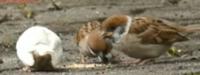 スズメの集団の中にいる、画像の白い鳥 (お尻し写ってなくてなくてごめんなさい) はスズメでしょうか? 大きさはスズメと同じくらいで全身真っ白です。