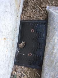 このネズミの種類分かりますでしょうか。今日捕まりました。
