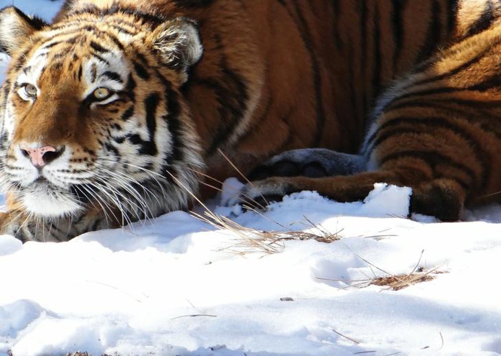 トラが繰り出す攻撃の中で最も殺傷率が高いのは矢張り、喉元に対する咬み付きですかね?