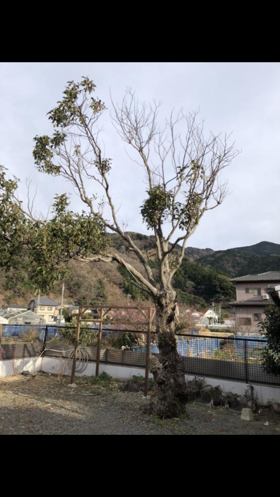 この木を元気にする方法を教えてください。 庭にある木なのですが、葉をいっぱいにして日陰を作りたいと思っています。樹齢も種類もわかりません。もしかして老木でもう無理でしょうか?