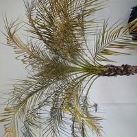 フェニックスロベレニー ヤシの木 フェニックスロベレニーを去年2020年8月に購入し屋外で鉢にて育てていました。夏は日当たりの良い場所で水もしっかりやっていたので、しっかり育っていました。冬も山口県という...